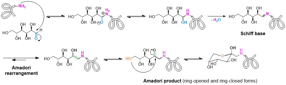 Formation of Amadori Products