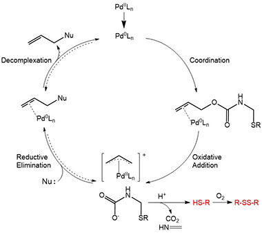 Allocam Catalytic Cycle