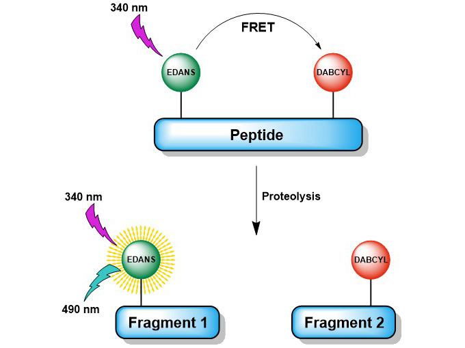 Screening of protease activity using FRET-based fluorogenic protease substrates