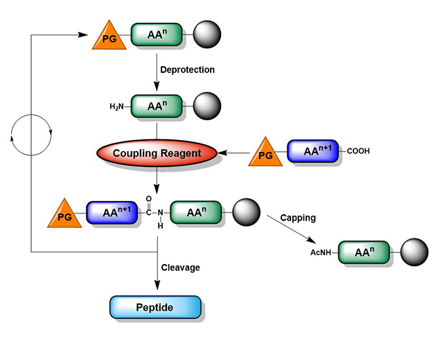 Cycle of activation, coupling and deprotection during solid-phase peptide synthesis.